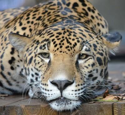 Sleepy Jaguar