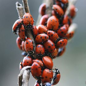 While hiking near Hermit Falls in Arcadia, CA. My wife and I happened upon an area of millions and millions of ladybugs. They were so thick in pl...