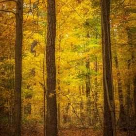 Forest in Autumn at Iroquois National Wildlife Refuge shows beautiful colors.