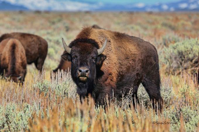 Bison by SusiStroud - The Brown Color Photo Contest