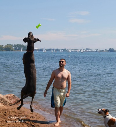 Blue Great Dane Jumping 8 feet for toy watched by Jack Russell Terrier - Photo by Robson Smith