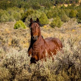 This wild Stallion came running right towards me, stopped gave me a look and a snort and ran off. From the series Mustangs and other Wild Horses ...