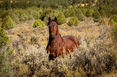 Jiciralla Wild Stallion in the Sage