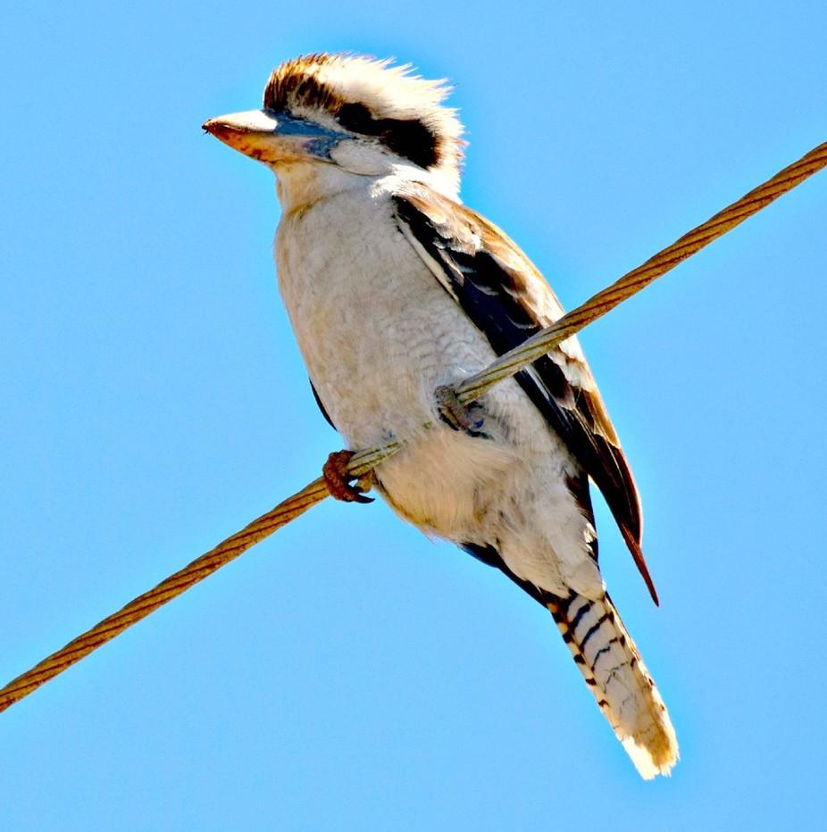 Kookaburra bird, sitting on wire