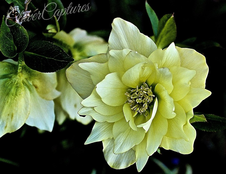 One of the many hellebores in my garden