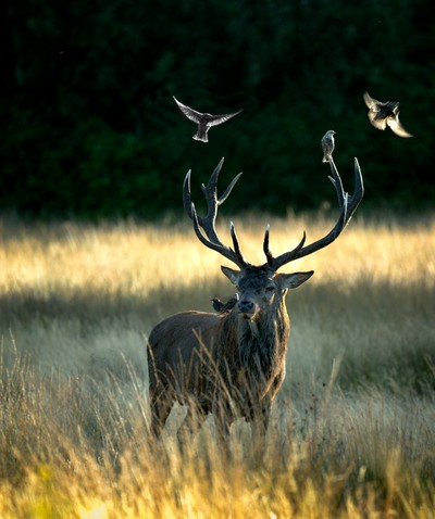 Red stag and friends