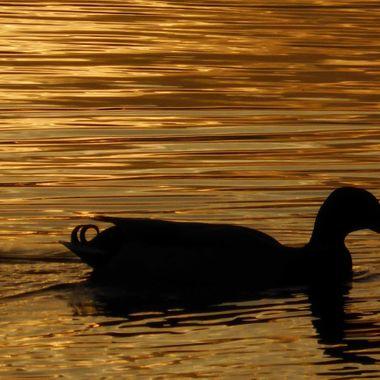Duck of The Golden Hour