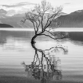 A much photographed tree , Visited daily by tourist staying in Wanaka. Started out many years ago as a post in the ground to hold a fence which h...