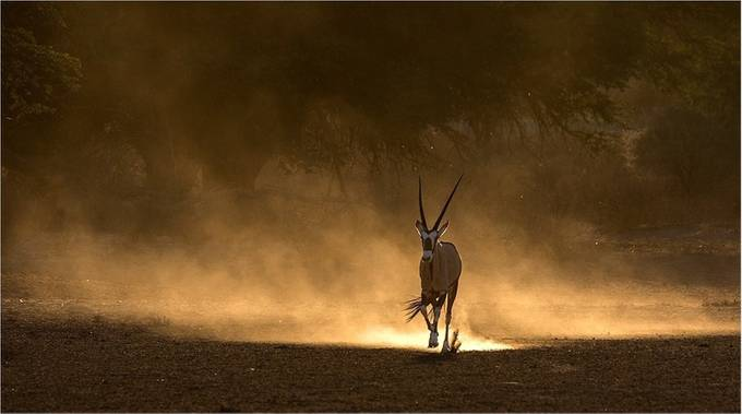 Gemsbok on the run by MMRossouw - The Nature Lover Photo Contest