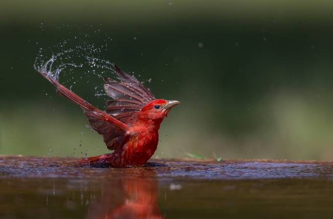 """Summer Tanager"" by DeanSmithPhotography - A Low Vantage Point Photo Contest"