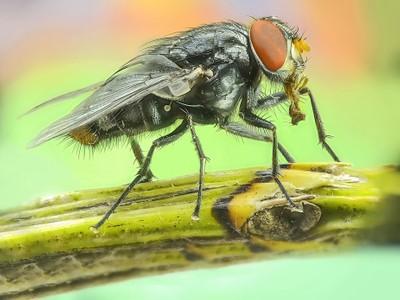 Fly, mosca