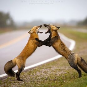 Two sibling foxes having a disagreement.