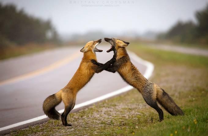 Fox Tango by bkcrossman - Celebrating Nature Photo Contest Vol 3