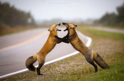 Fox Tango