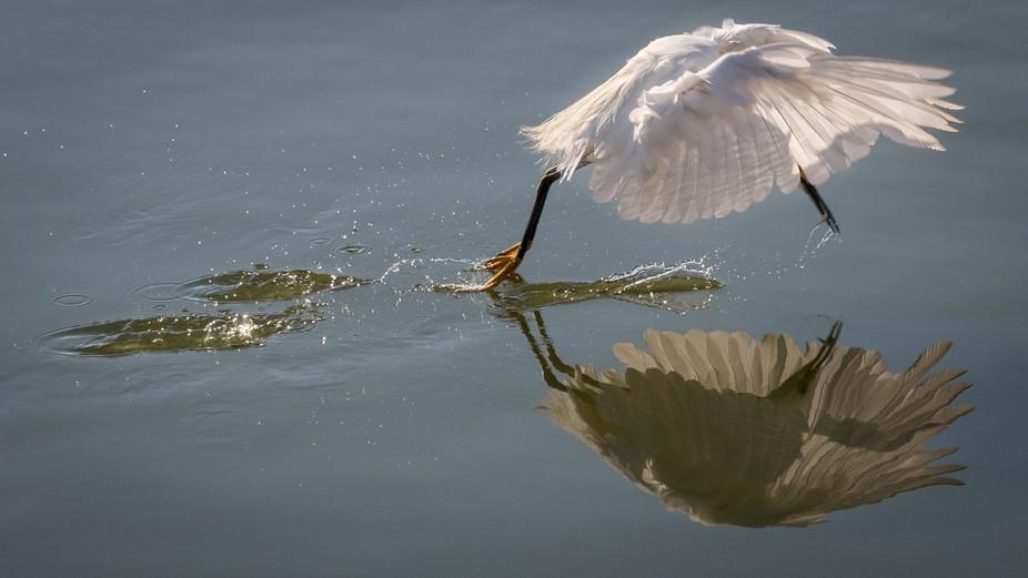 Snowy Egret at Las Gallinas