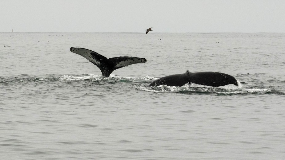 Humpback Whales at the Farallon Islands