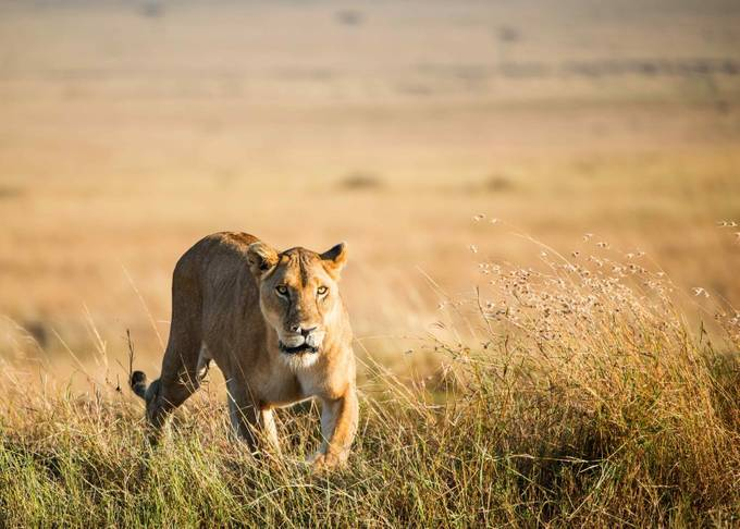 Lioness by kbhasker - Explore Africa Photo Contest