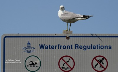 Ring-billed gull on Kingston Waterfront Regulations sign - Laurus delawarensis - Photo by Robson Smith