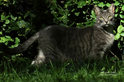Silver Tabby Cat looking at you with green eyes caught in late afternoon sun - Photo by Robson Smith