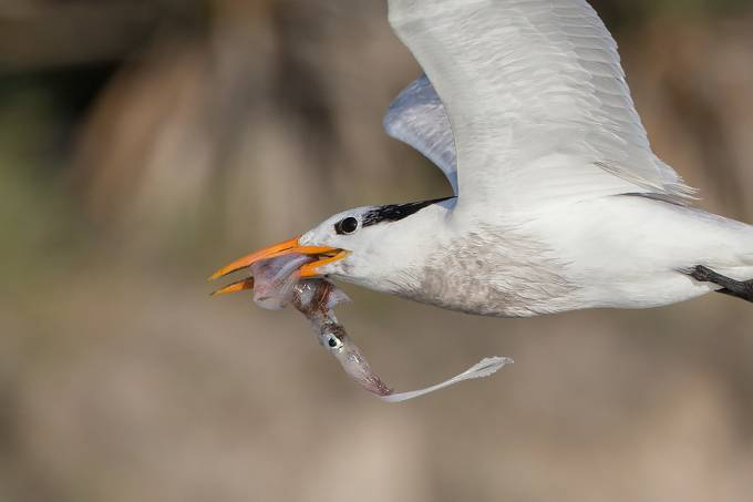 Royal Tern by wklein - Food Chain Struggles Photo Contest