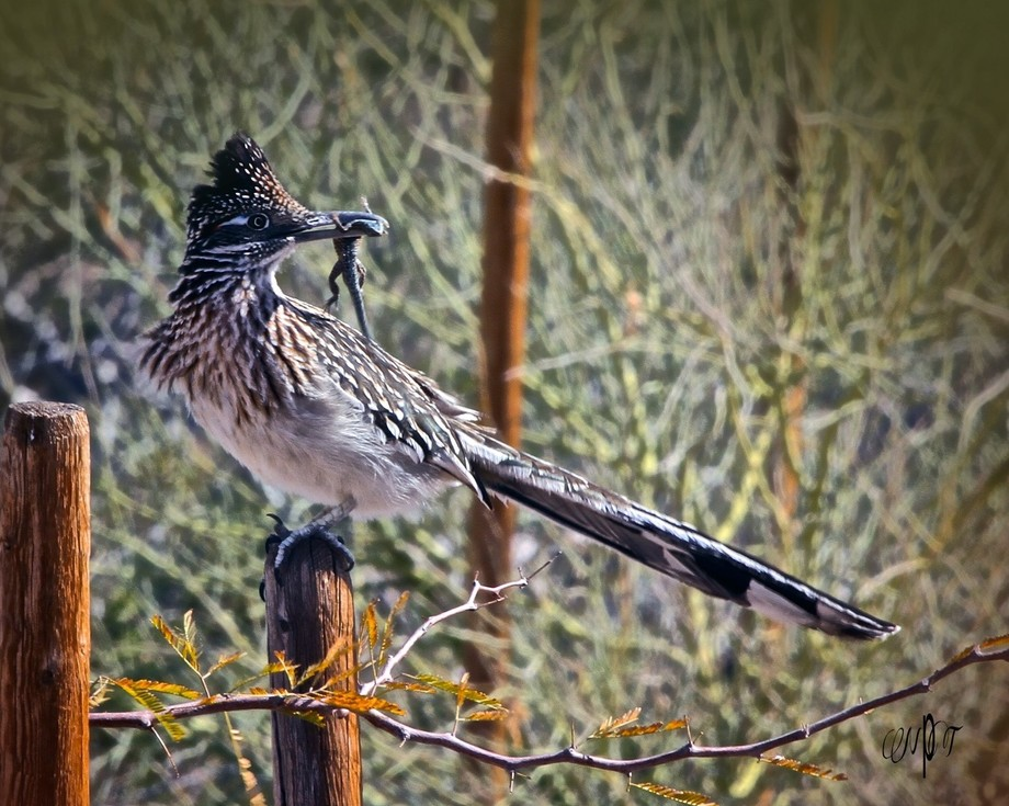 A Roadrunner with lunch