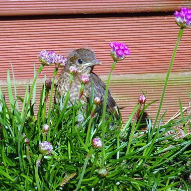 Baby Blackbird hiding in my garden