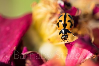 Transverse Ladybird (Coccinella transversalis) on rose