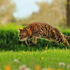 Bengal cat named Kokos, having some fun.