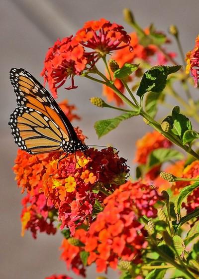 Butterflies ❤️ Butterflybush