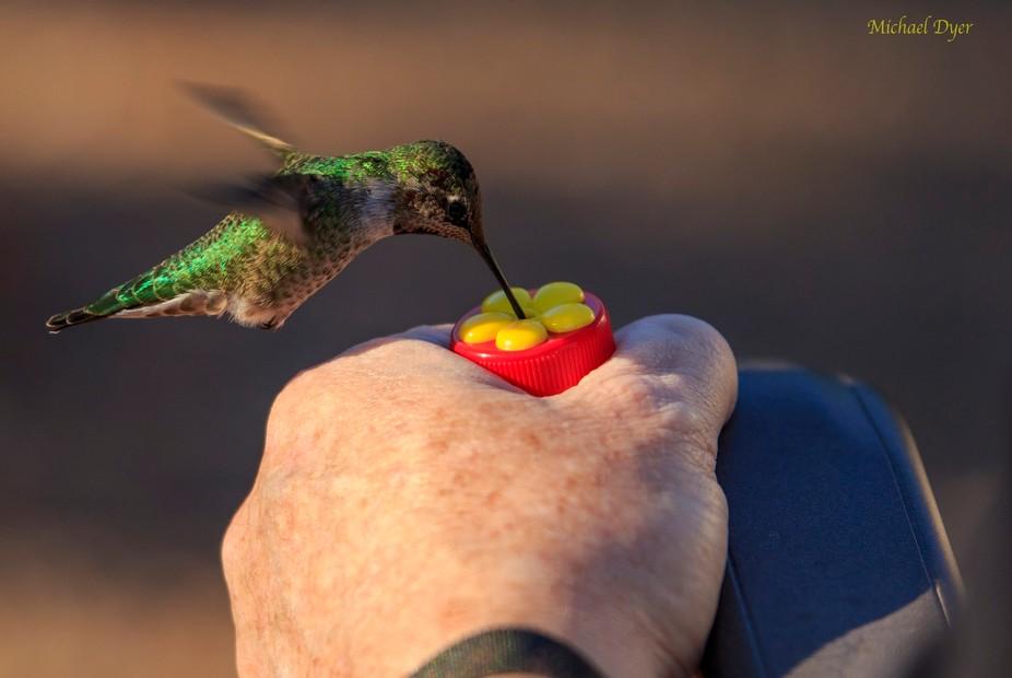 Feeding Hummingbird with small hand held feeder