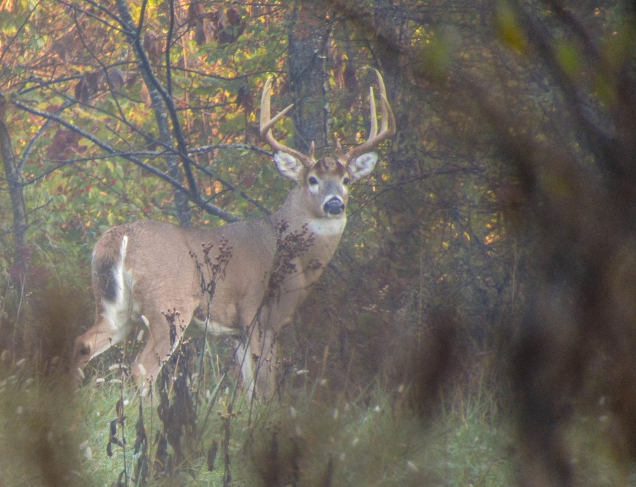 Morning Buck