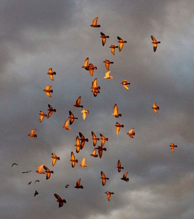 49 Pigeons in a flock  banked  in flight sun on wings - Photo by Robson Smith