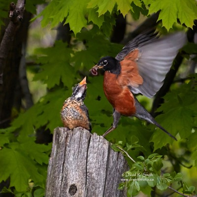 American Robin Male Feeding Chick on Wooden fence post - Turdus migratorius - Photo by David R. Smith