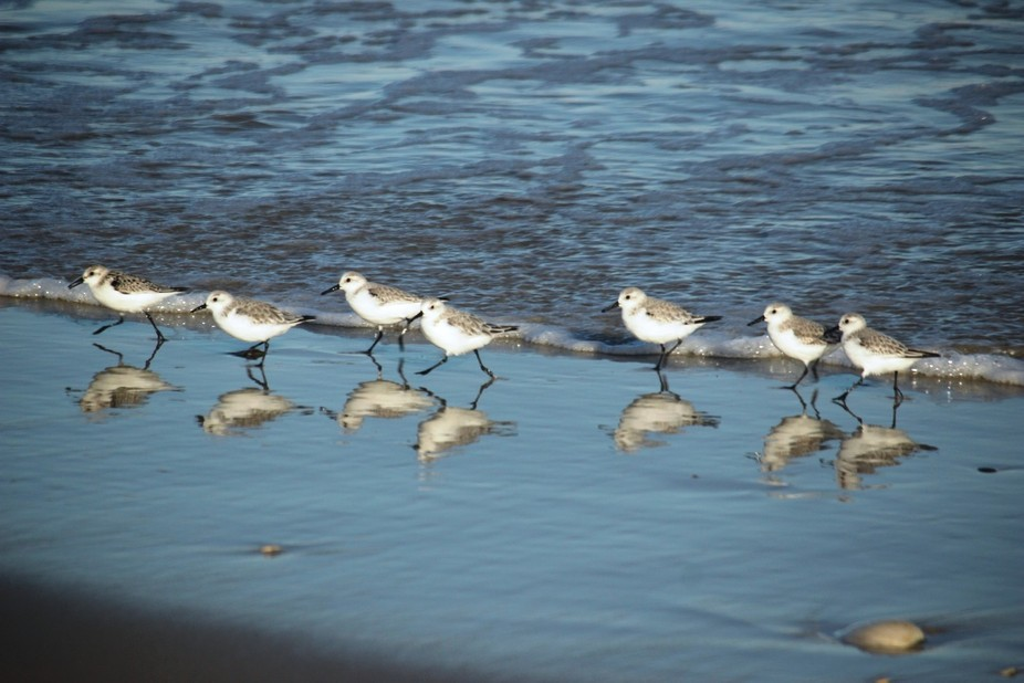 Sandpipers on parade