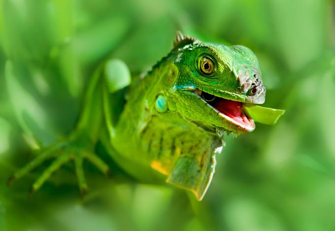 Iguana by clfowler - Colorful And Bright Photo Contest