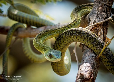 South Africa Boomslang