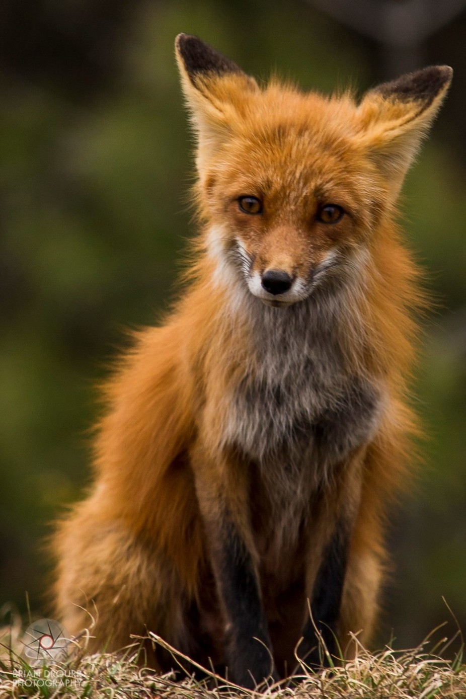 Algonquin Fox by briandrourr - Rule Of Thirds Photo Contest v4
