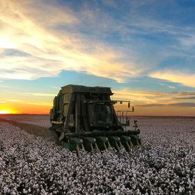 Picking cotton in west Texas