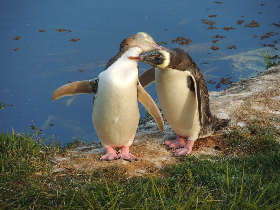 This is in New Zealand on the Otago peninsula where there is a refuge for these entertaining and ...