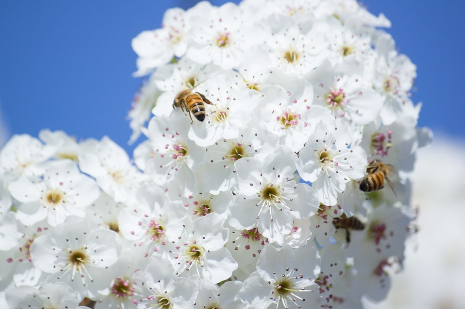 Trees, filled w/Early Spring Flowers, had bees swarming around them, looking for nectar and polle...