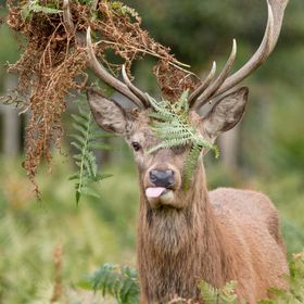 Taken in bushy park on the outskirts of london this is a photograph of a red deer stag. I like to think that this individual may on some level ha...