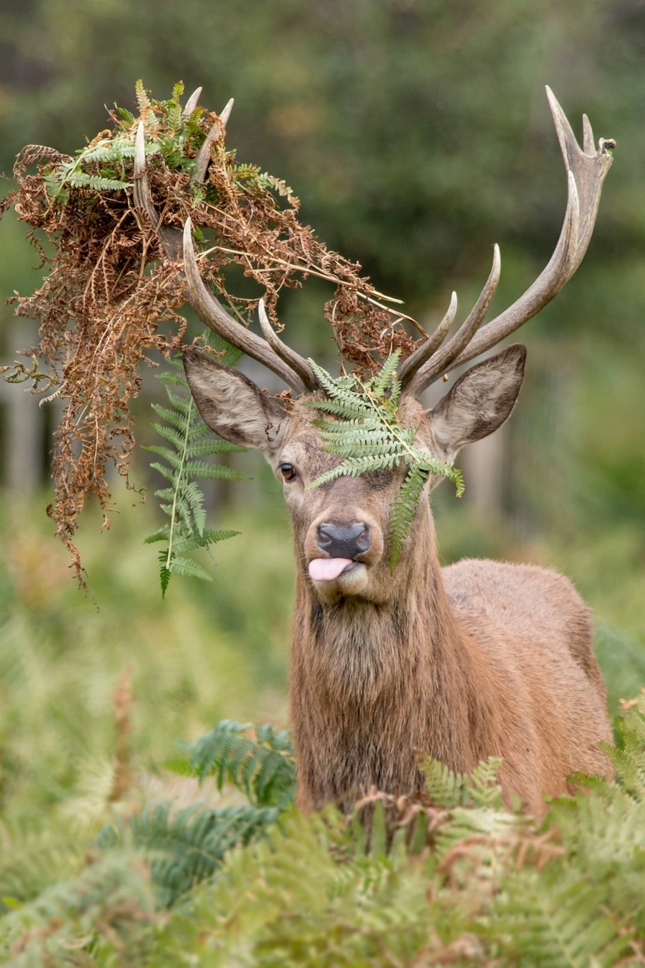 Red Deer Stag Covered in Braken  by MattGould - Large Photo Contest