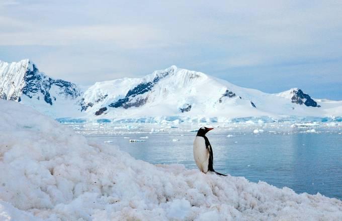 Gentoo penguin in Antarctica by SueClarkPhoto - Winter Wildlife Photo Contest