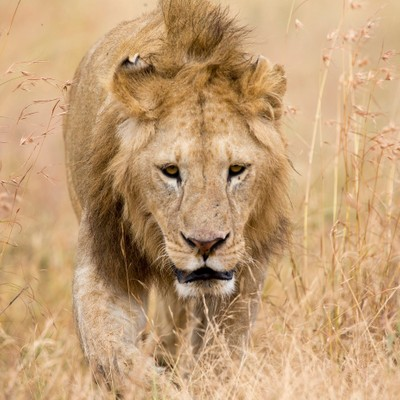 Young Male Lion getting too close