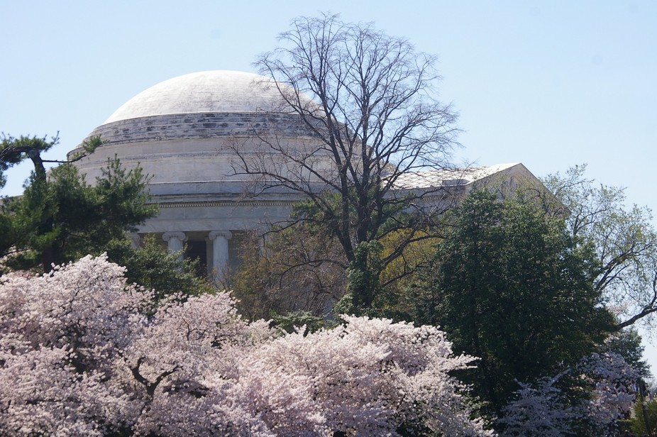 Cherry blossoms at the Jefferson Monument