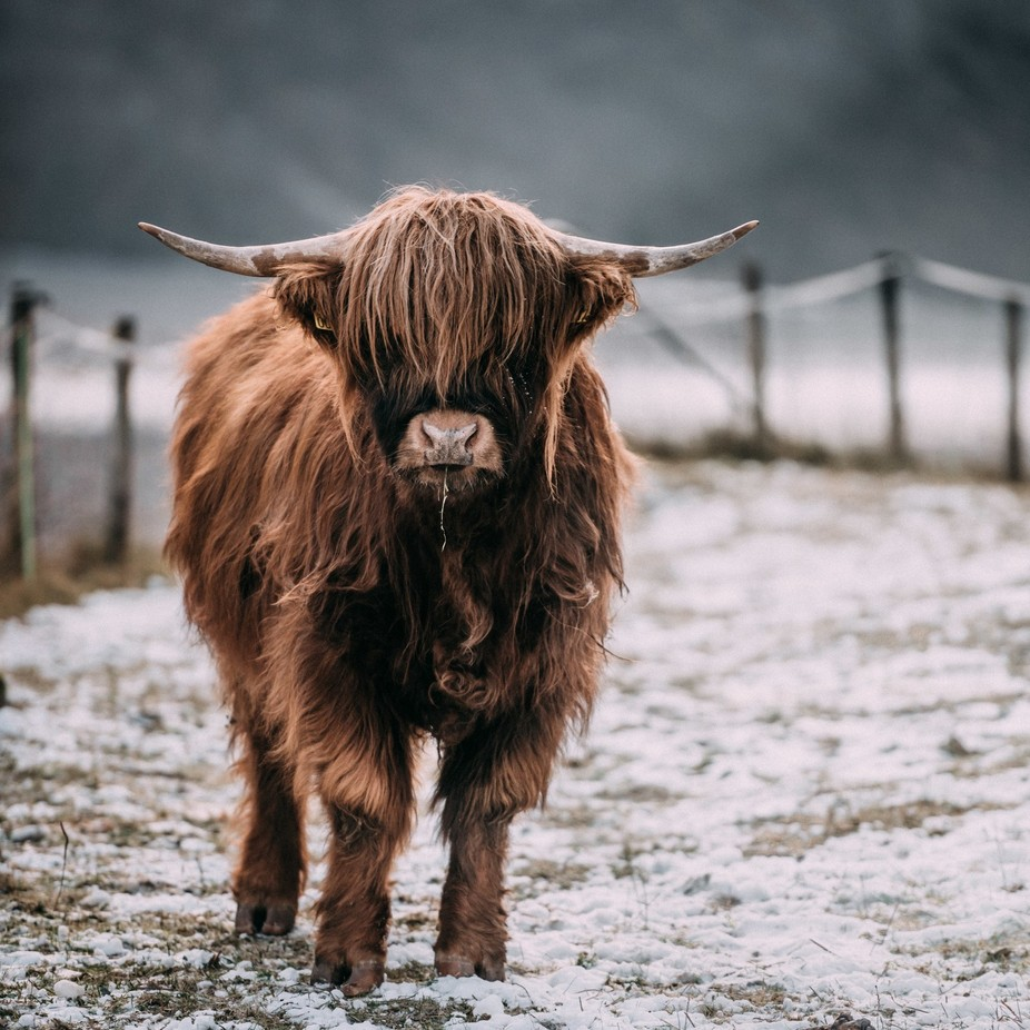 moo by MariLaegreid - The Brown Color Photo Contest
