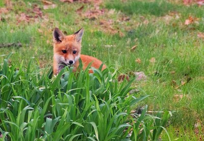Backyard Fox - Cropped