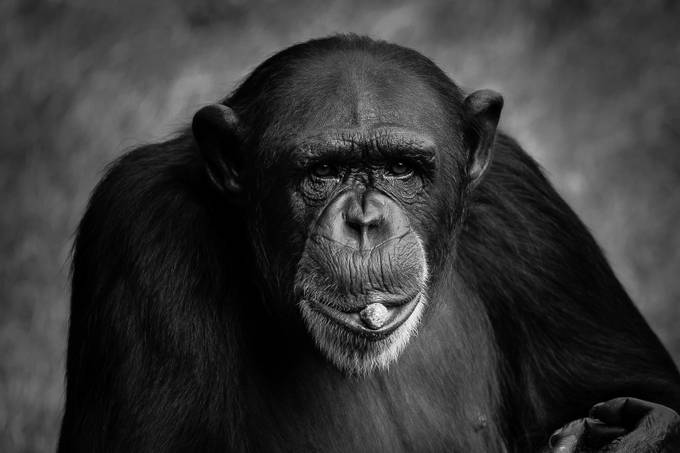 Smoking a peanut by Rodney_Rodriguez - Monkeys And Apes Photo Contest