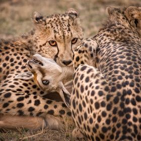 A young sub adult cheetah waits for the Thomson Gazelle to suffocate.