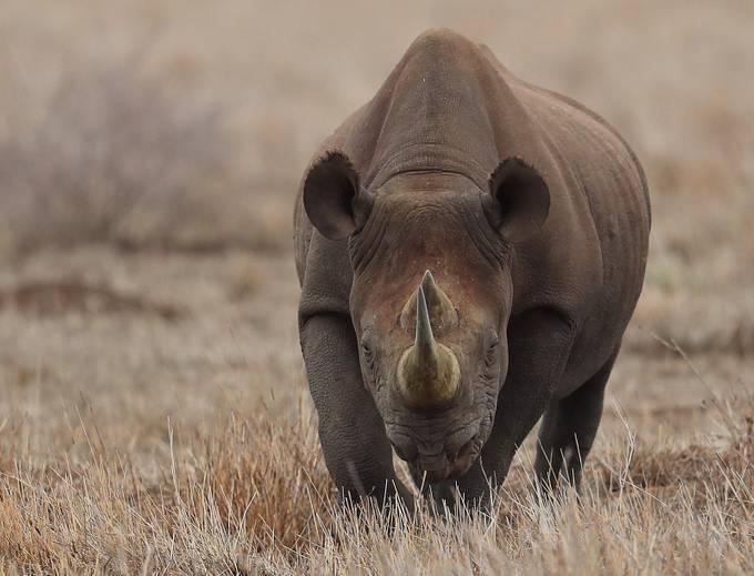 Black Rhino by biglenswildlife - Large Photo Contest